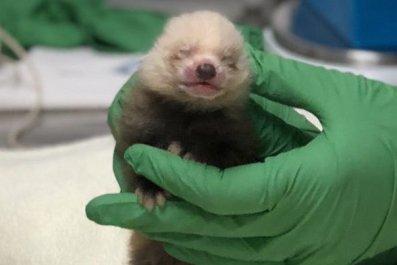 red-panda-cub-591x760