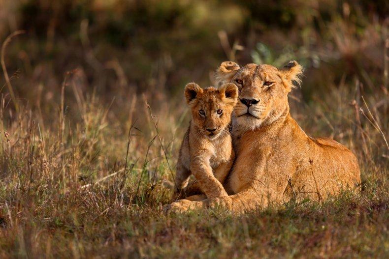 7_2_Lion