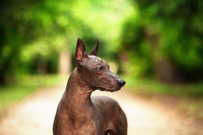 7_6_Xoloitzcuintli Dog