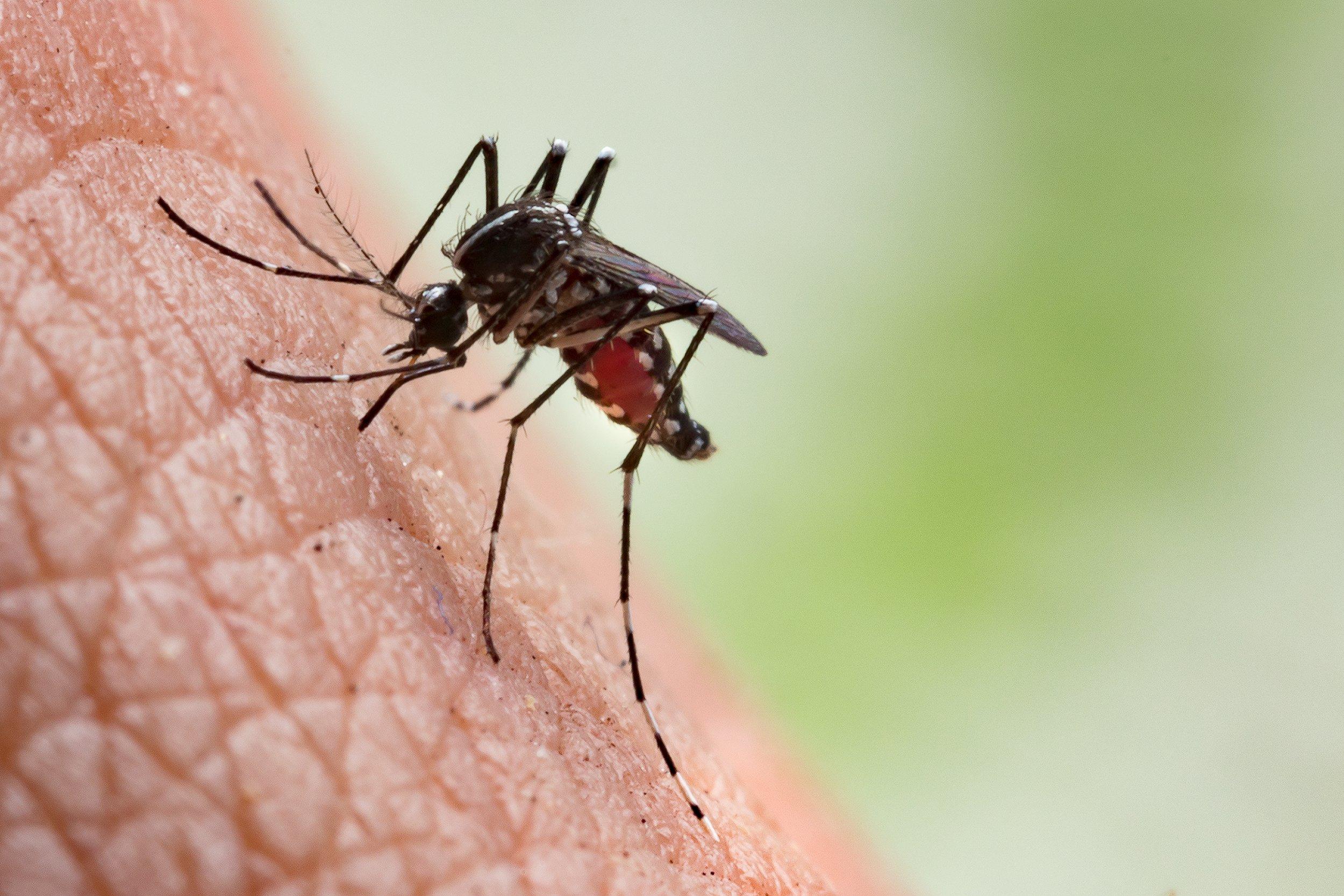7_10_Mosquito