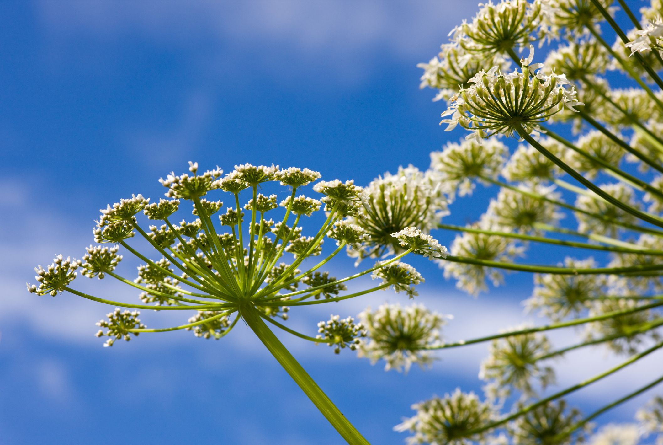 Giant Hogweed Plant Sends Virginia Teenager To Hospital