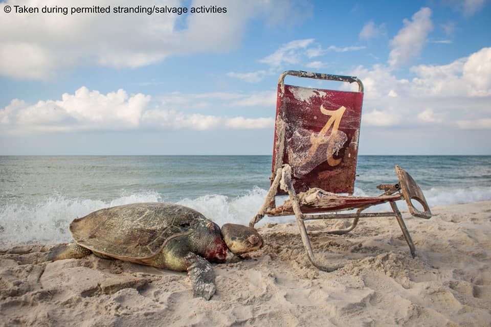The Kempu0027s Ridley Sea Turtle Which Washed Up On The Beach And Later Died.  Facebook/Matt Ware/