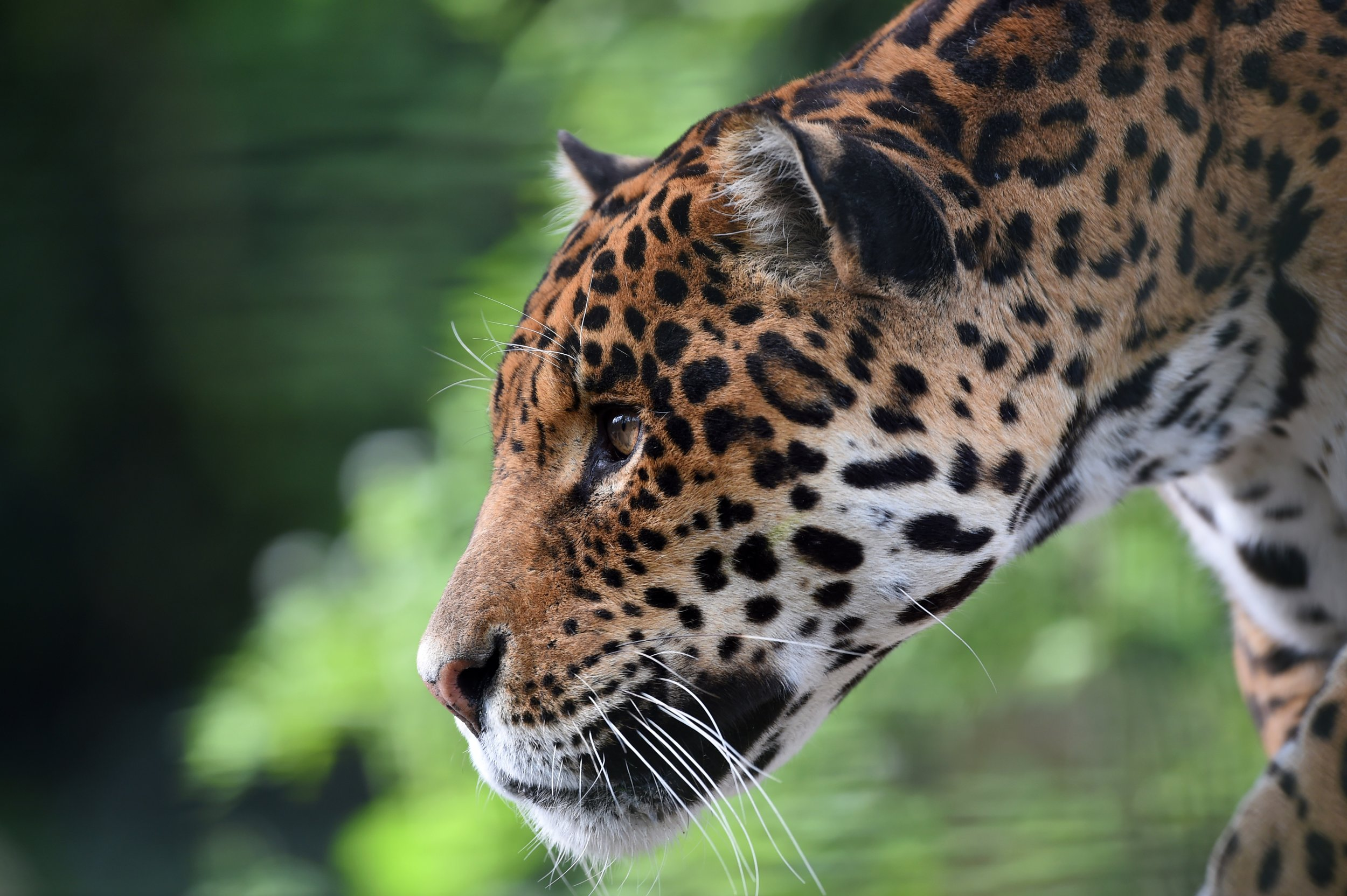 Jaguar Won T Be Euthanized After Killing Spree At