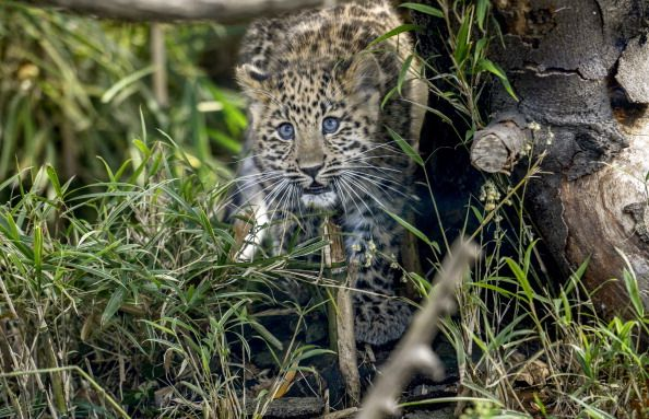 Extremely Rare Leopard Is Beating the Odds, Seeing a Rise in Population