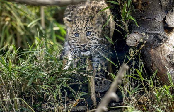 0718-leopard