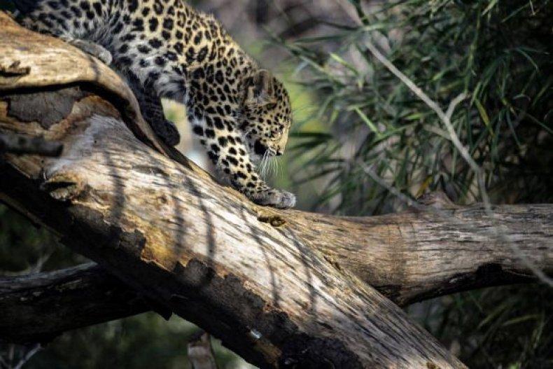 0718-leopard2