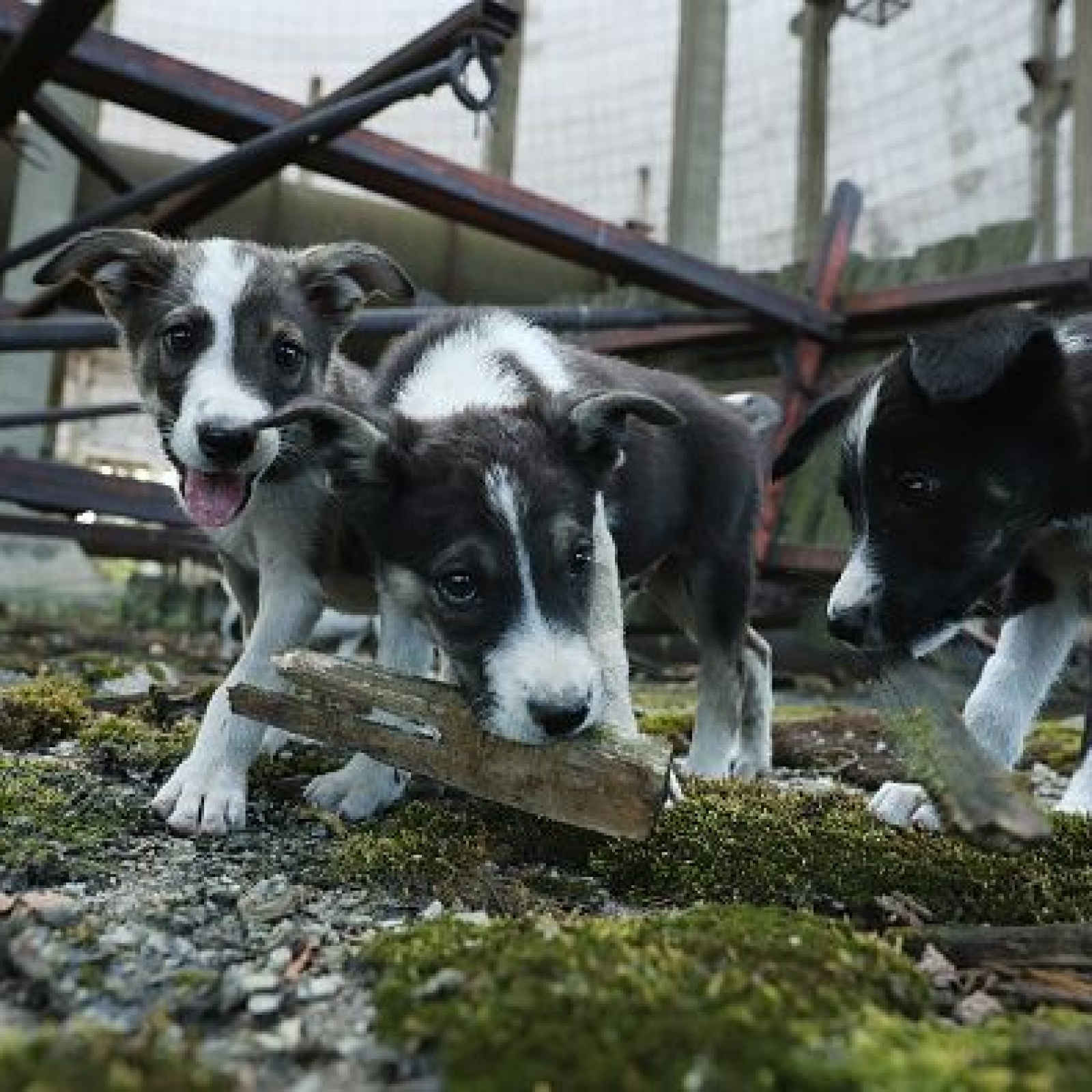 Meet the Dogs of Chernobyl: These Wild Animals Are Up for