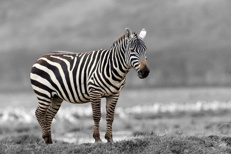 7_26_Zebra