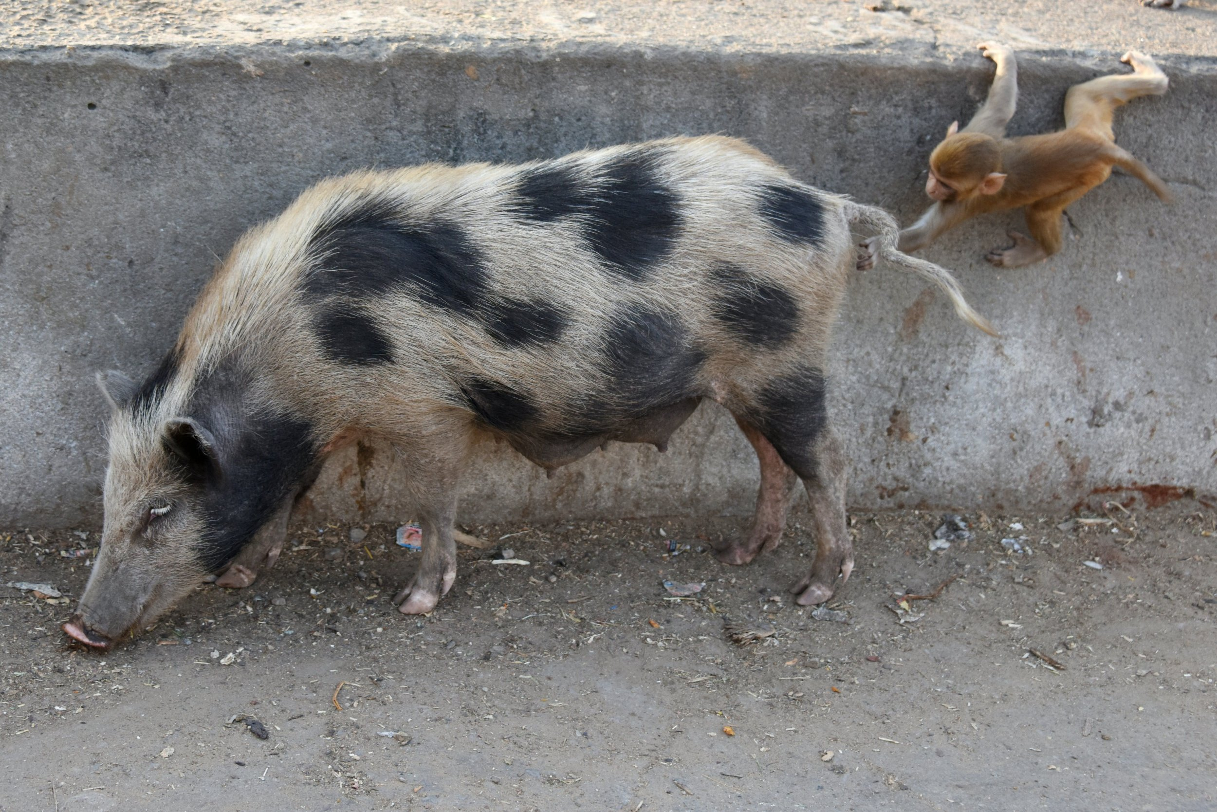 tapeworm_infected_pig_india