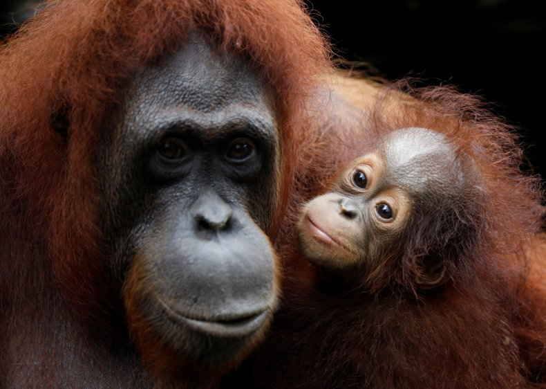 Orangutan Mom and Child