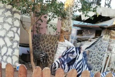 7_27_Donkey Zebras
