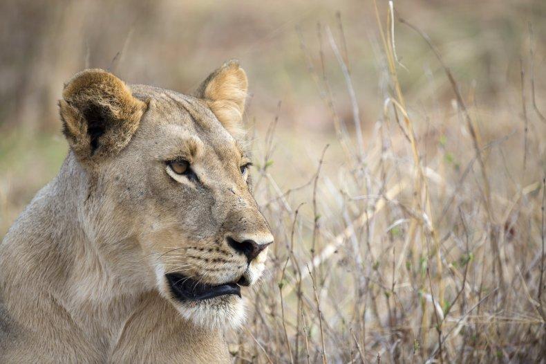 Lion in Zimbabwe