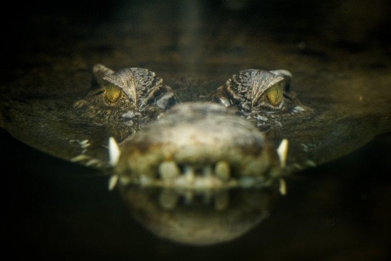 7_30_Crocodile