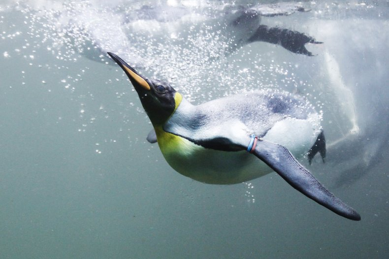 King Penguin Dives