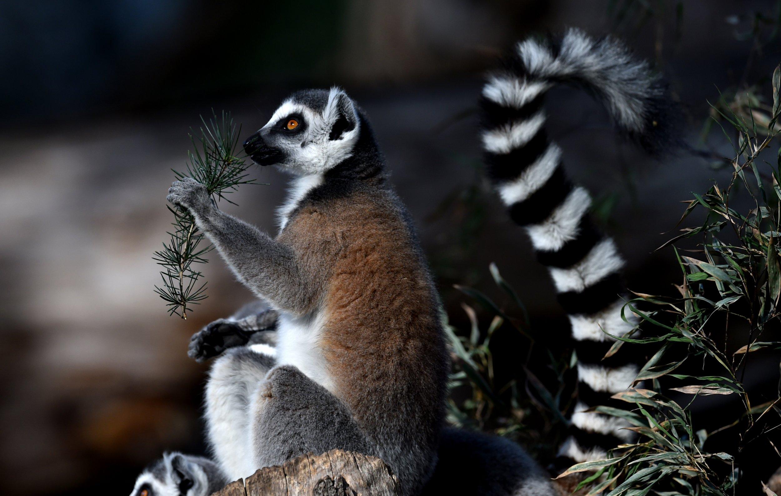 lemur_endangered