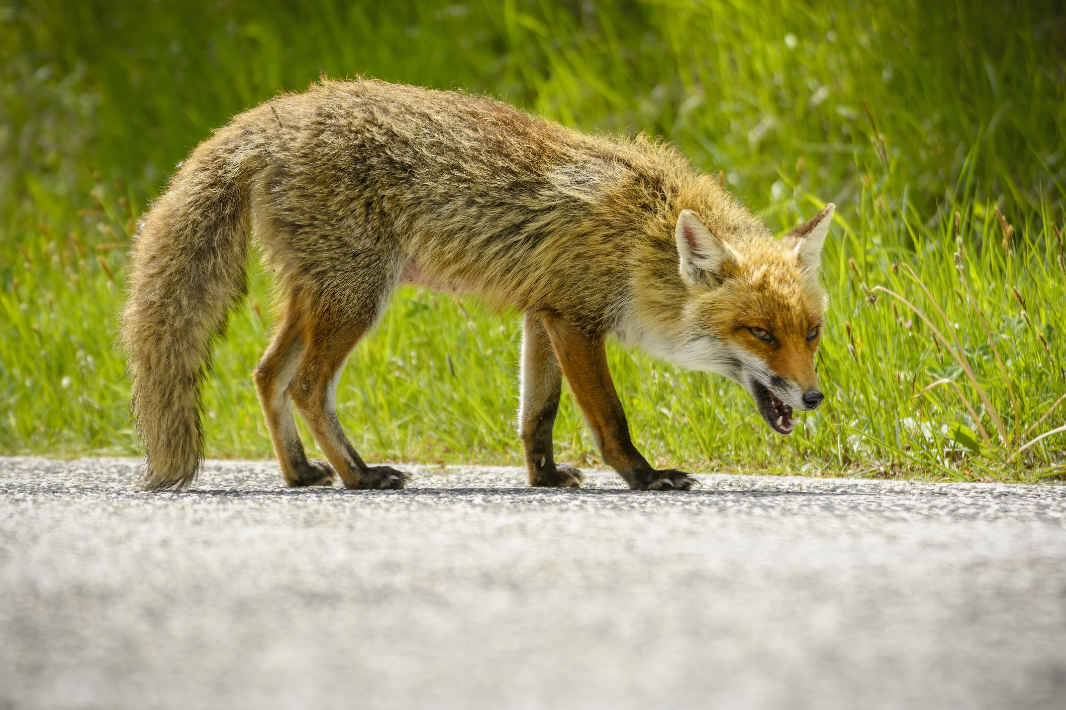What are the Symptoms of Rabies? Rabid Fox Bites Five-Year