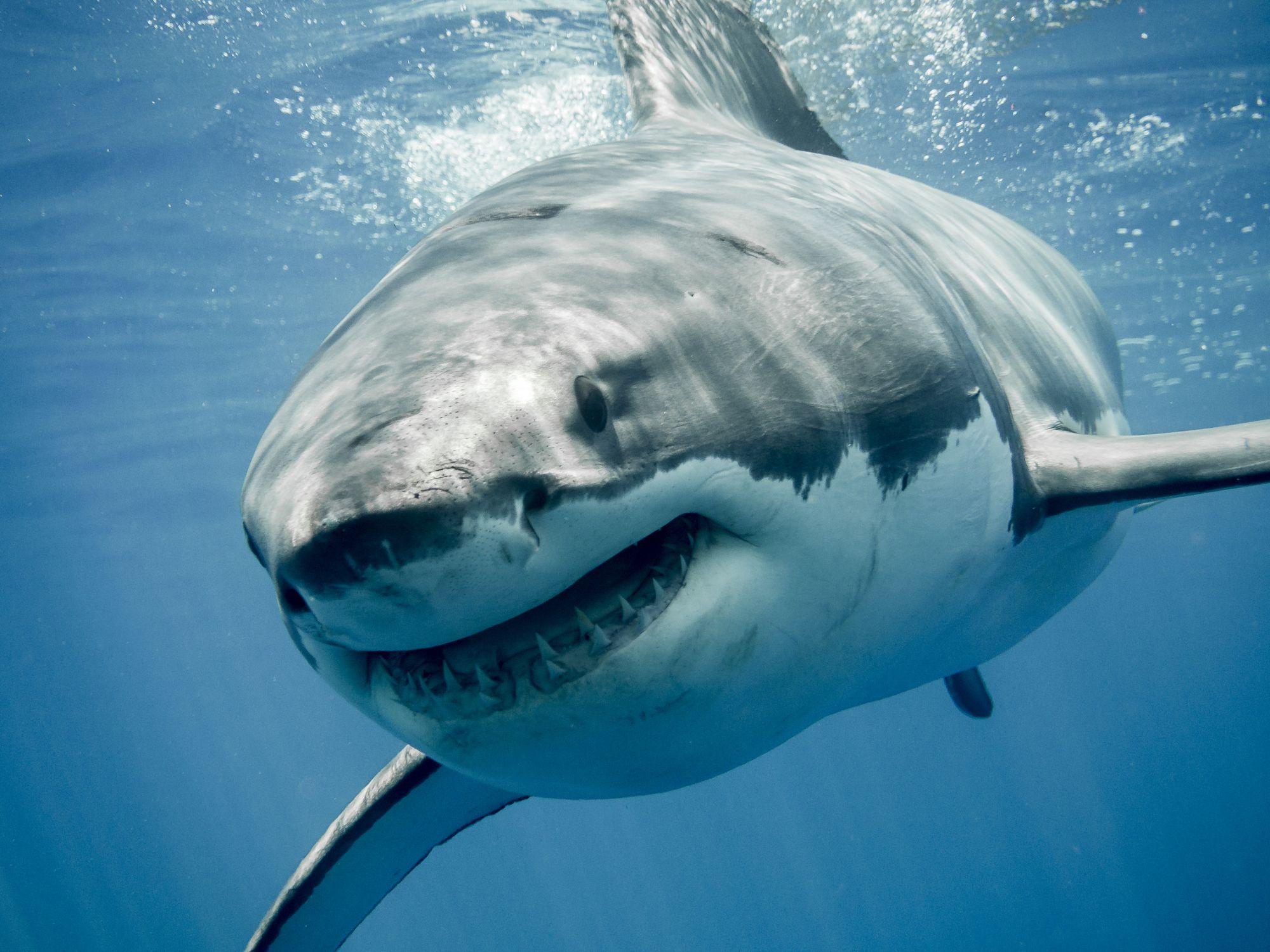 shark-stock