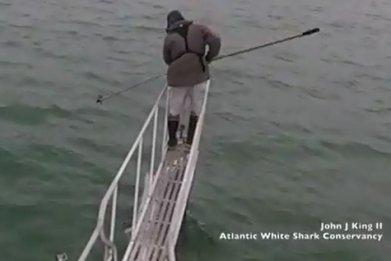 great white shark breaches under researcher