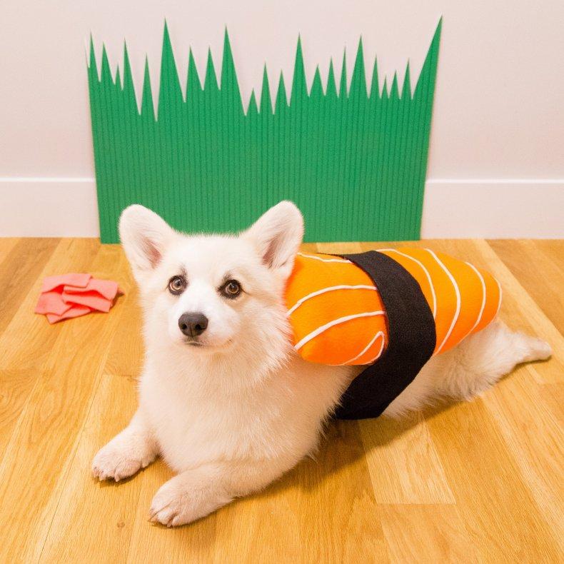 Winston Modeling His Omacorgi Salmon Costume