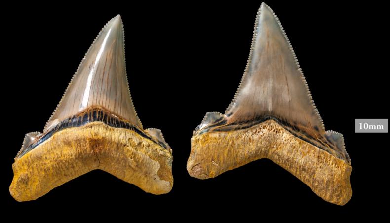 8_9_Ancient Shark Teeth