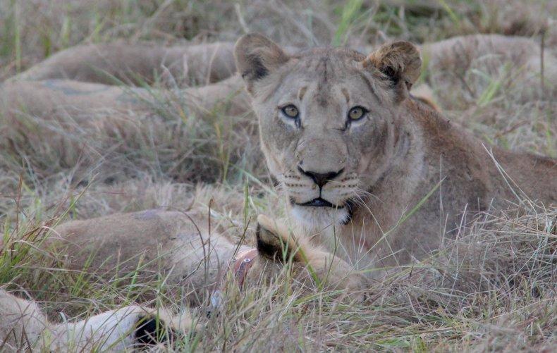 Lion Mozambique