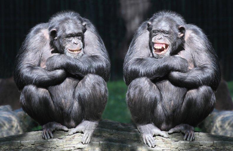 8_10_Chimps