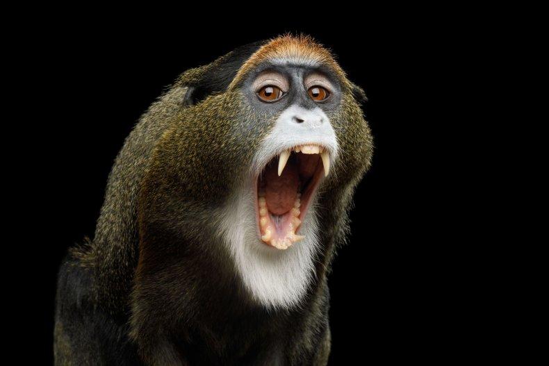 8_10_De Brazza Monkey