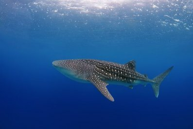 WhaleShark-0810
