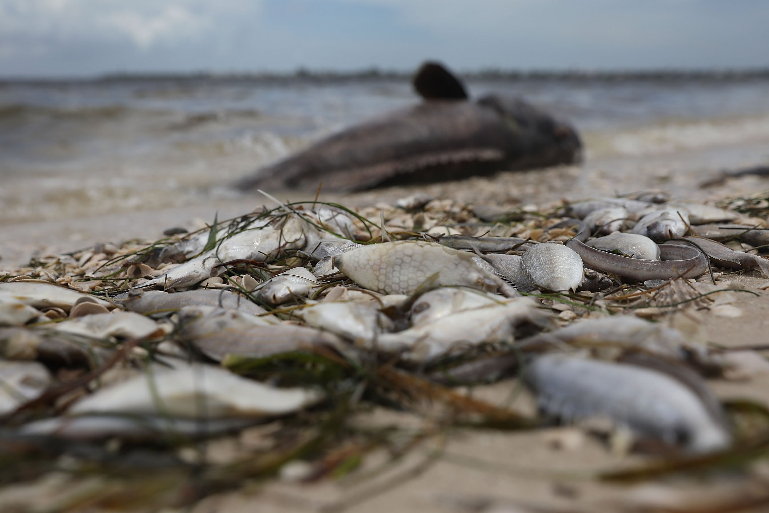 Florida Red Tide S Toxic Algae And Dead Animals Destruction Behind