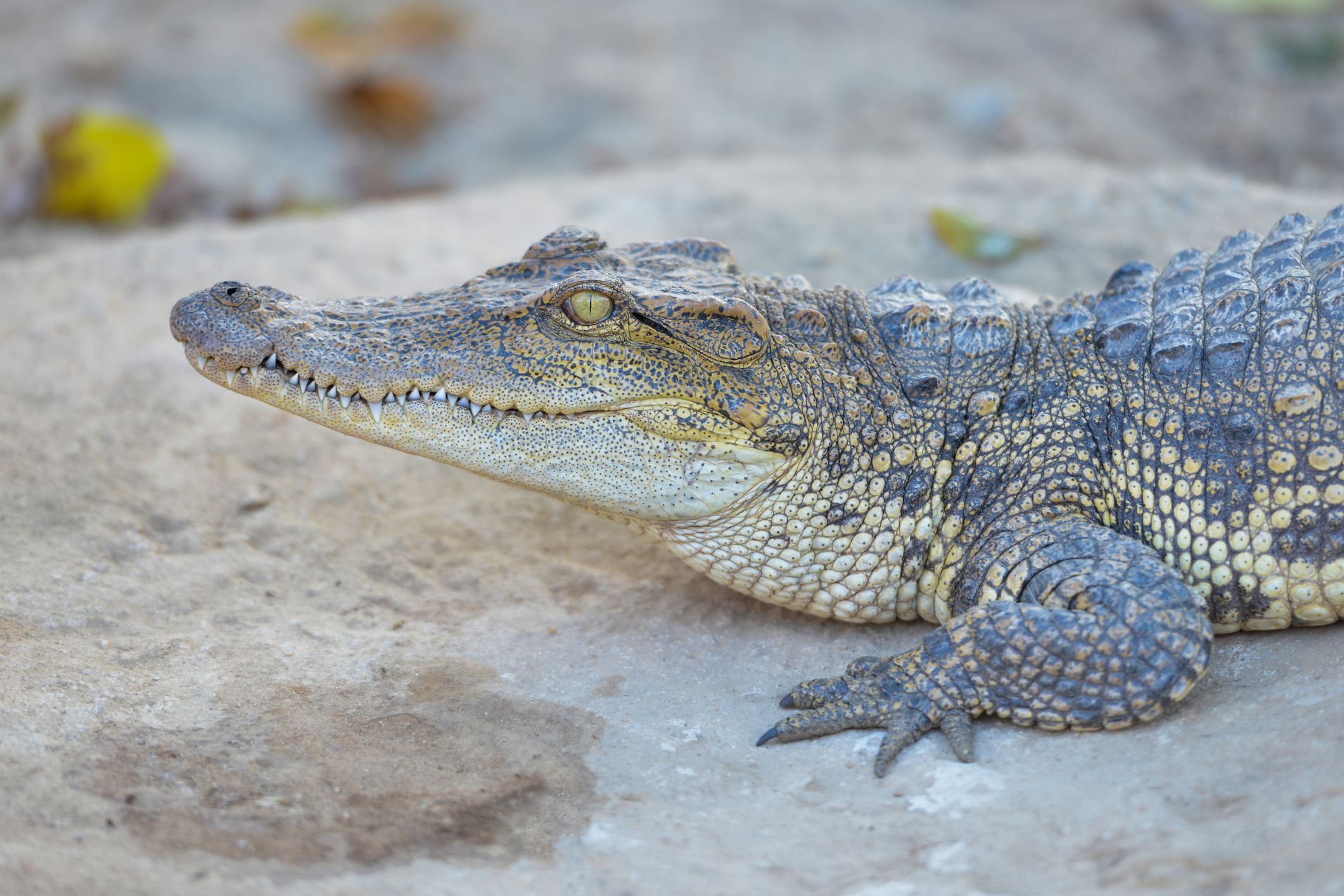 8_16_Siamese Crocodile