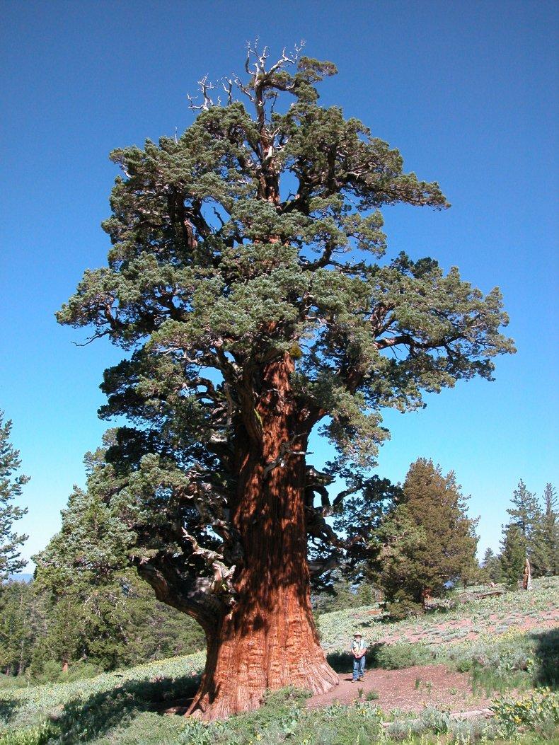 bennett-juniper