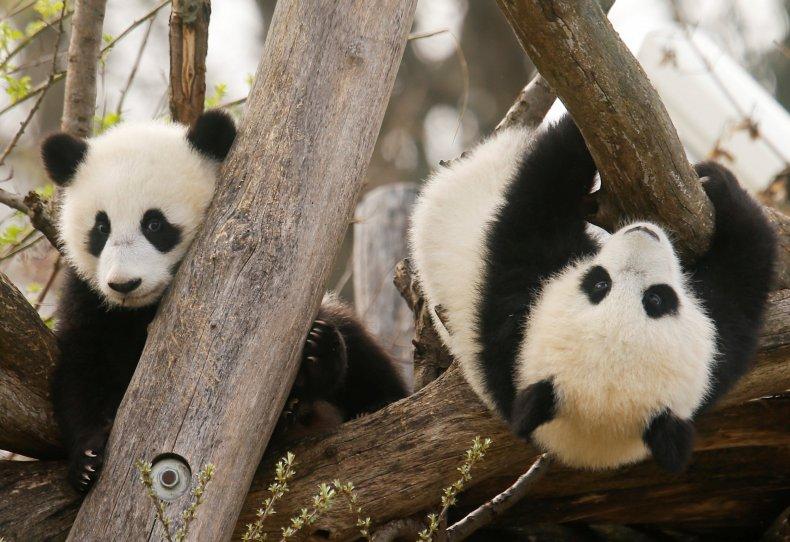Giant Panda twins