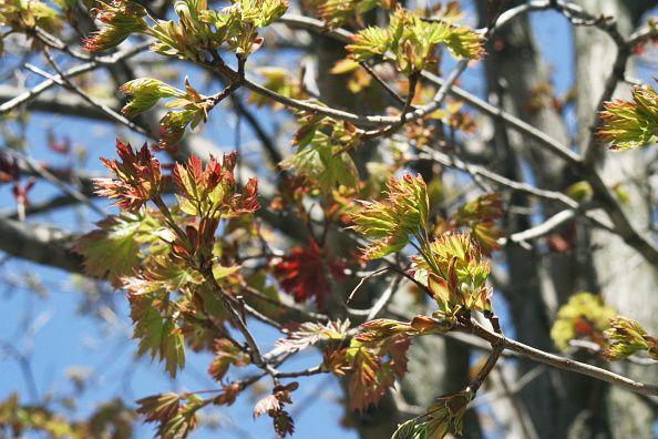 0821-maple leaves
