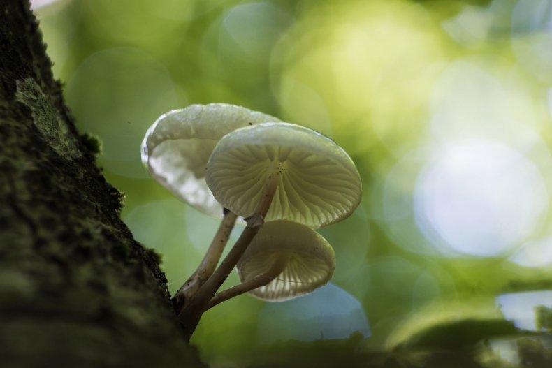 magic-mushrooms-Psilocybin-stock
