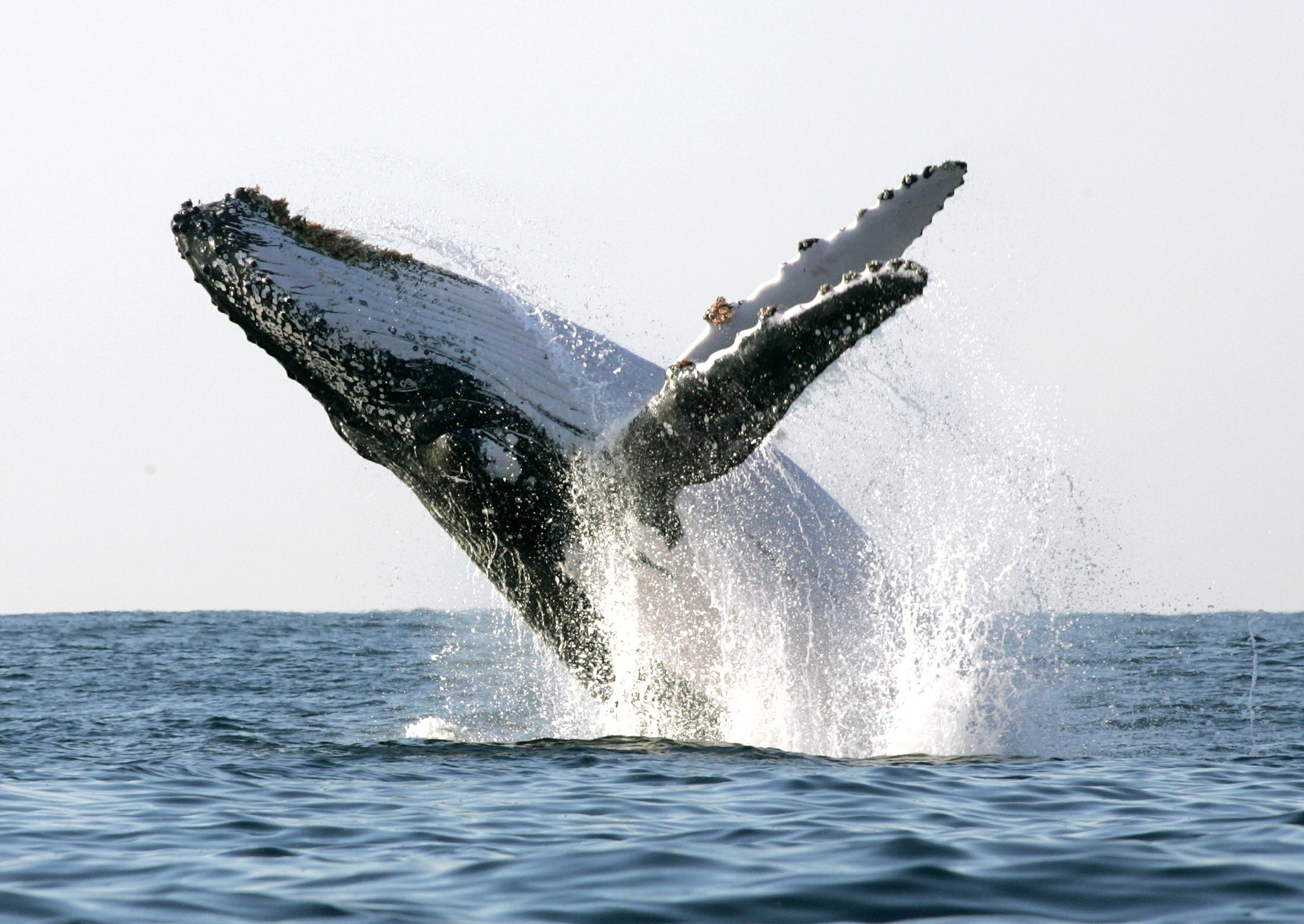 humpback whale whale watching boat breach alaska