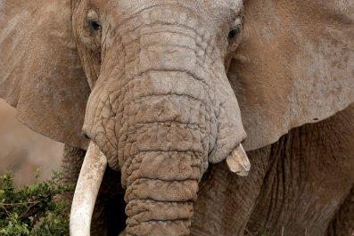 Broken Tusk Elephant