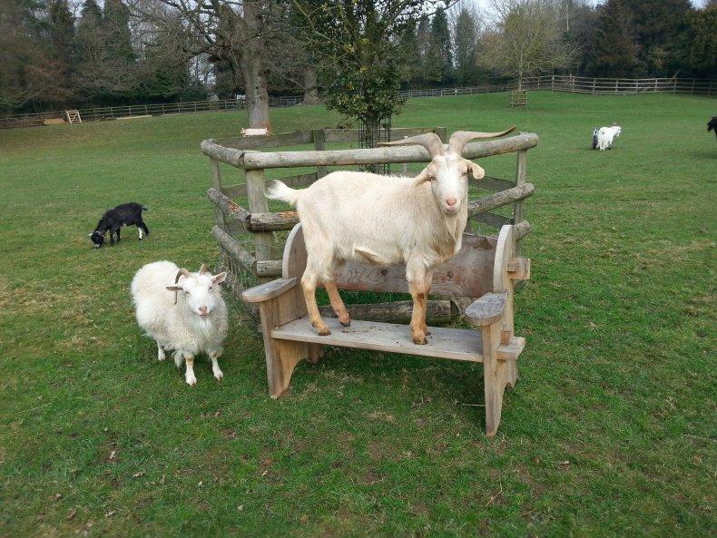 8_28_ Buttercups Goats