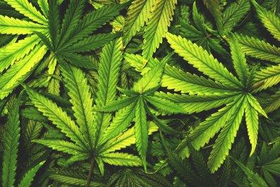 cannabis-leaf-stock