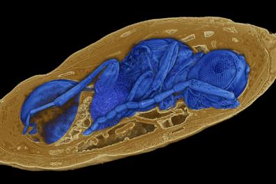 8_30_Parasitic Wasp
