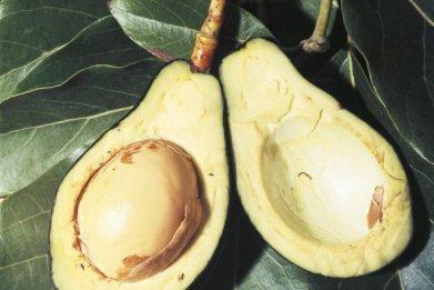 0830-avocado