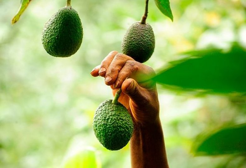 avocadofarmer-0830