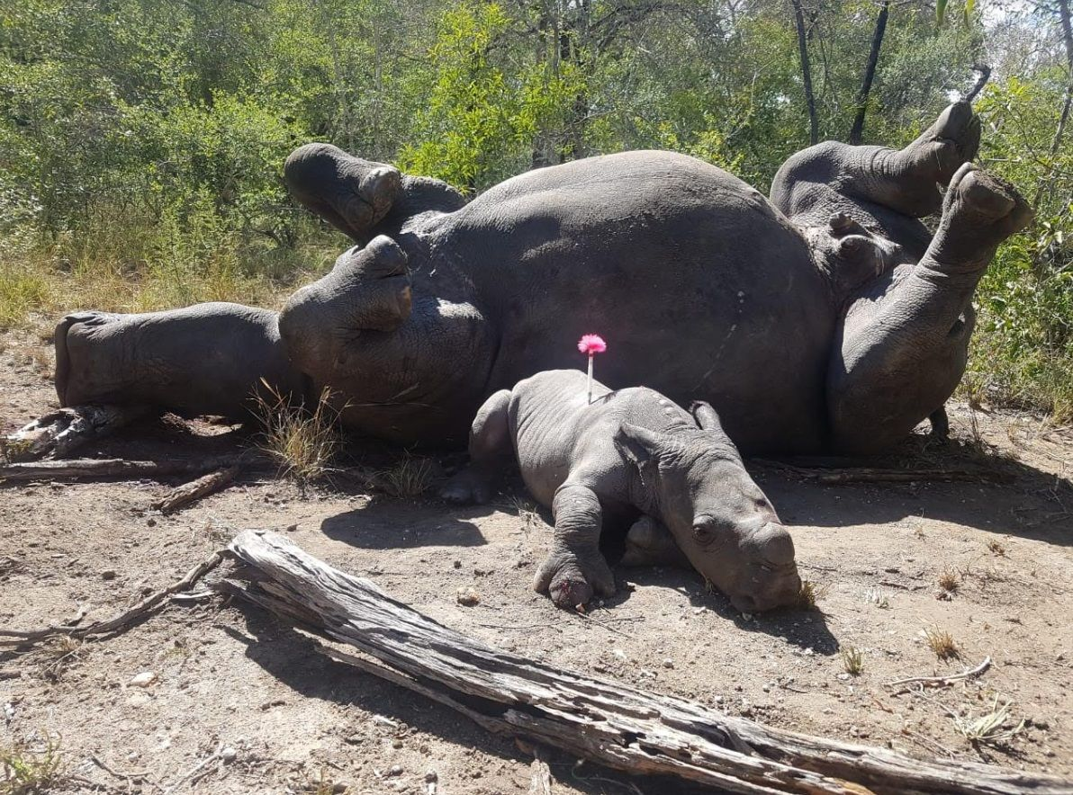 baby rhino arthur