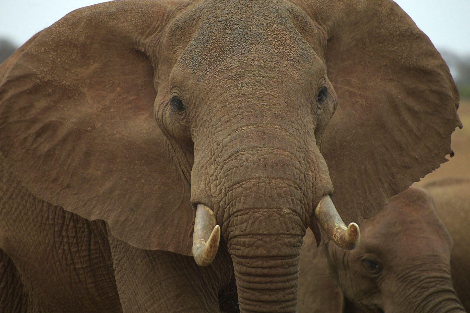 Asian Elephant   The Animal Spot