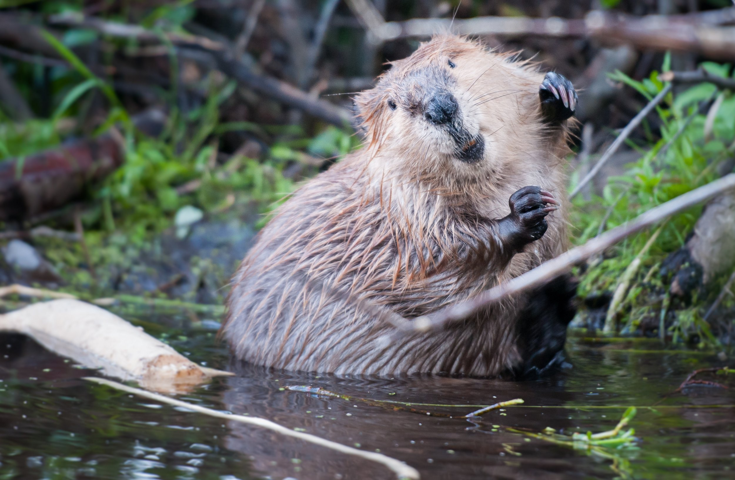 Washington Man Sexually Assaults Injured Beaver As Woman