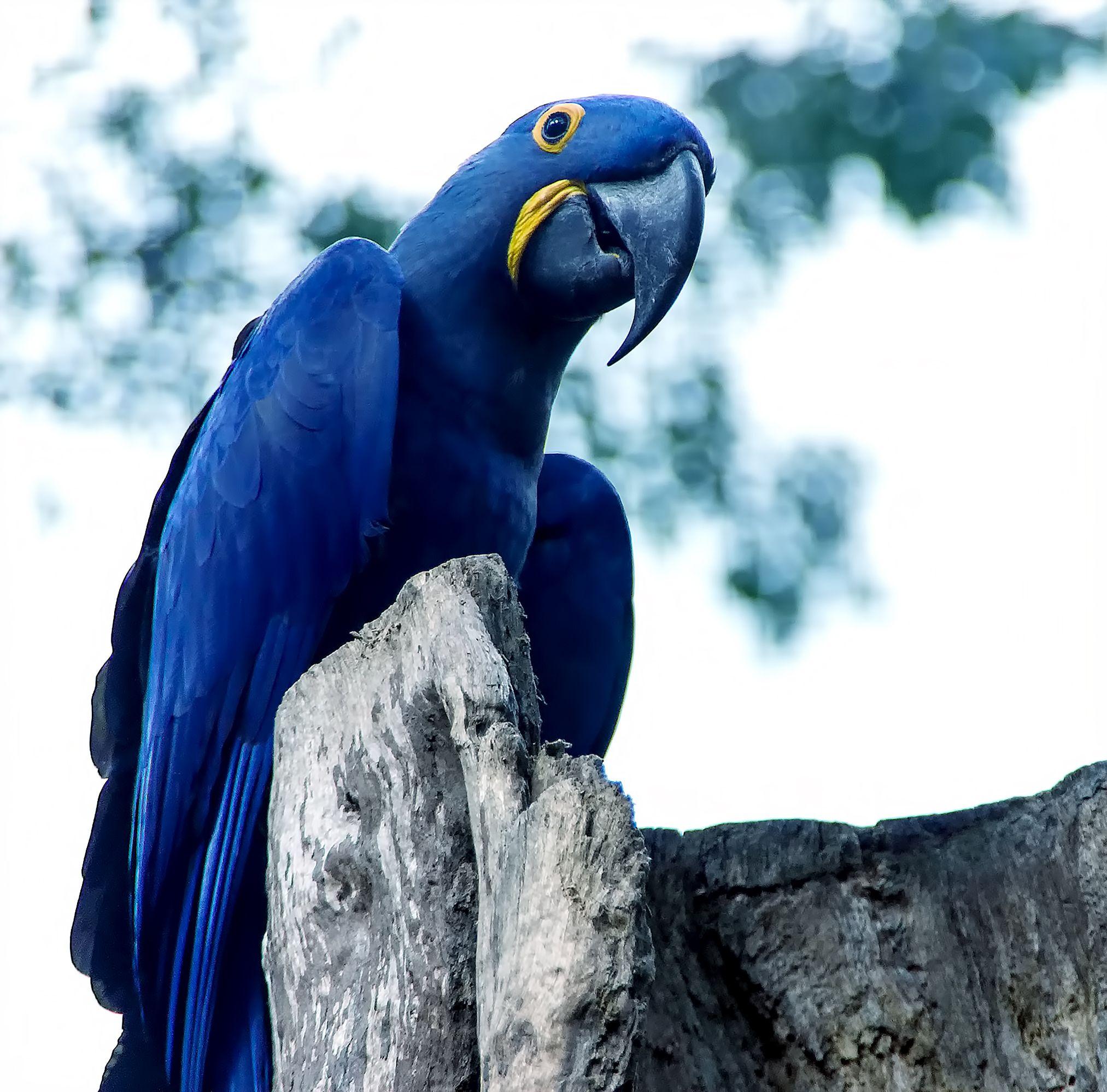 Spixs-macaw-rio-stock