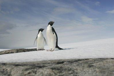 9_11_Adelie Penguins