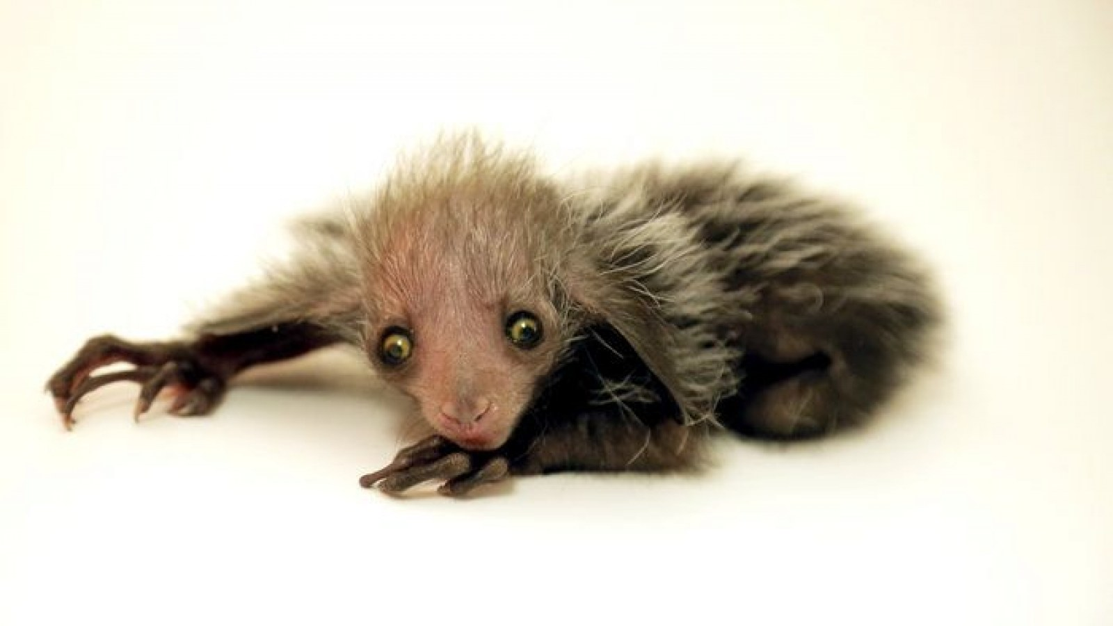 Ugliest Animal Ever? Denver Zoo's Newborn Endangered Aye-aye Lemur Prompts  Debate