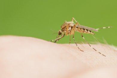 mosquito-stock