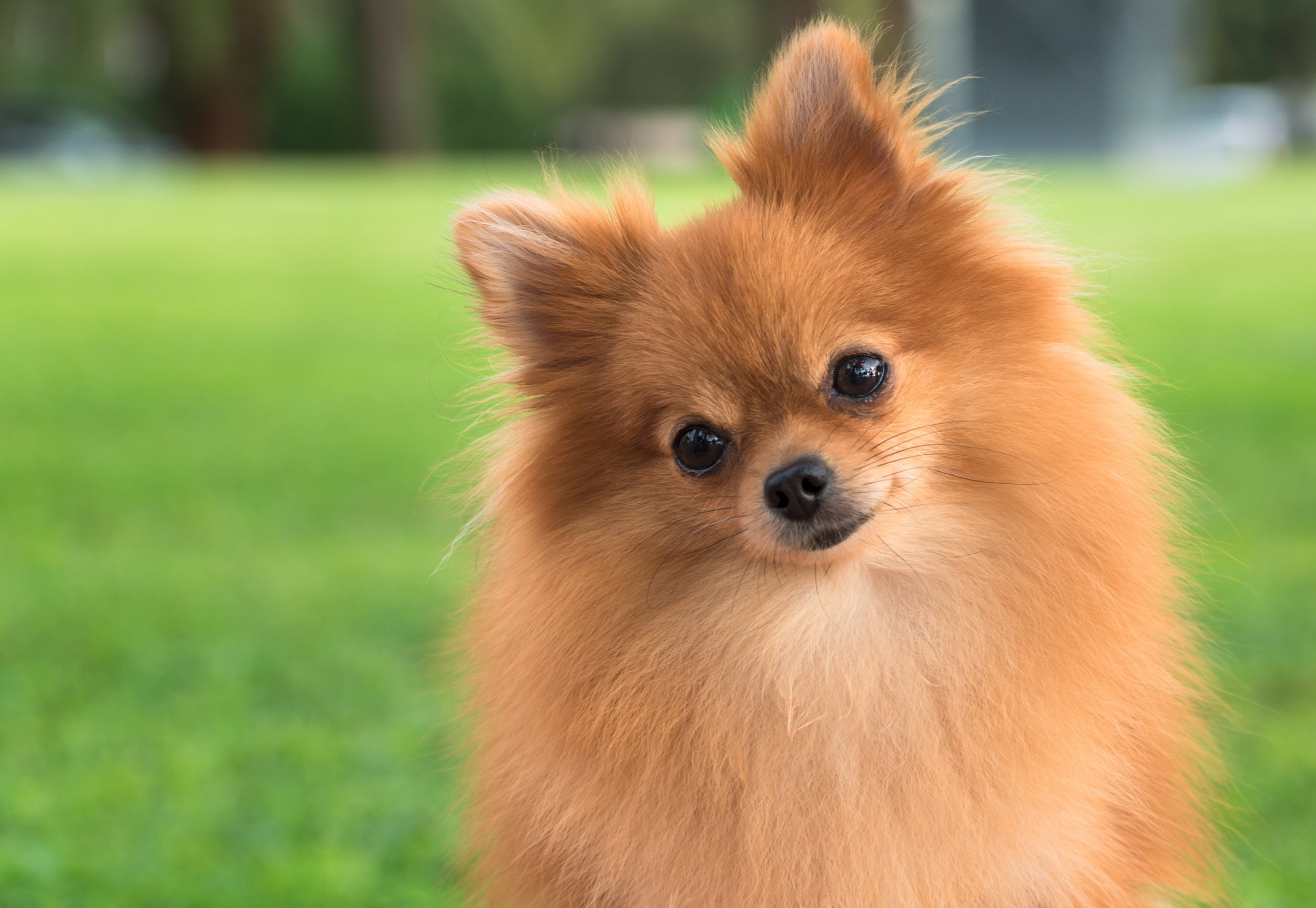 Pomeranian Puppy Kicked to Death by Teenager in Unprovoked