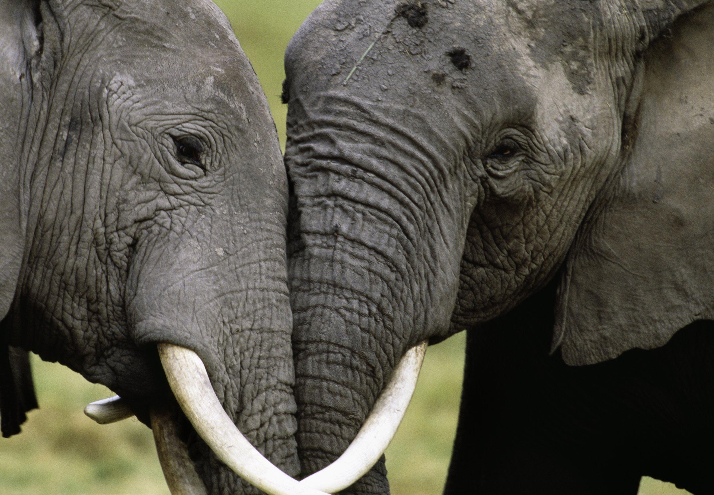 9_19_African elephants